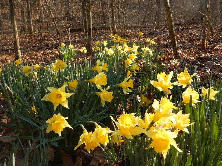 Daffodils this early?